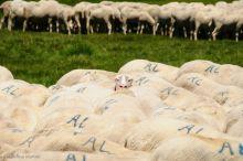 Curiosity kill the sheep